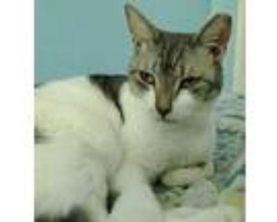 Adopt Wyatt a White Domestic Shorthair / Domestic Shorthair / Mixed cat in