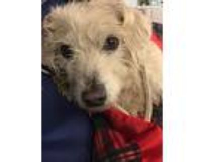 Valentino, Cairn Terrier For Adoption In Los Angeles, California