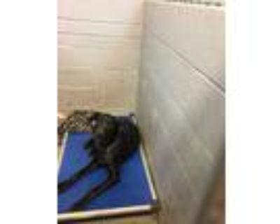 Adopt 48260861 a Black Labrador Retriever / Mixed dog in Los Lunas
