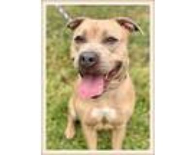 Adopt Jansen a Tan/Yellow/Fawn Pit Bull Terrier / Mixed dog in Woodstock
