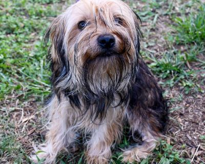Bosco 11707 - Terrier, Yorkshire, Yorkie/Mix - Adult Male