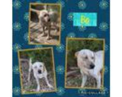 Adopt Bo a Australian Cattle Dog / Blue Heeler