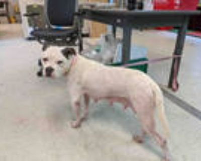 Adopt TUG a White - with Gray or Silver American Pit Bull Terrier / Mixed dog in
