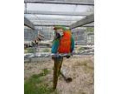 Pele, Macaw For Adoption In Elizabeth, Colorado