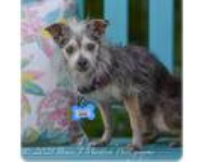 Adopt Bing a Chinese Crested Dog