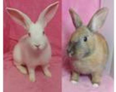 Adopt Kerubi & Noelle a Bunny Rabbit, Harlequin