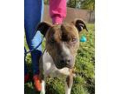Clark Kent, American Staffordshire Terrier For Adoption In Quincy, Illinois