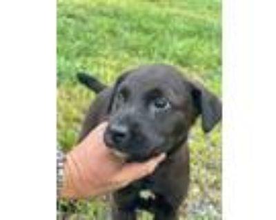 Adopt Sali a Black Border Collie / Labrador Retriever / Mixed dog in Newark