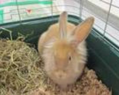 Adopt 48283858 a Tan Flemish Giant / Other/Unknown / Mixed rabbit in Olympia