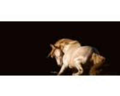 Imported ANCCE Revised Double Cream With Red PRE Stallion