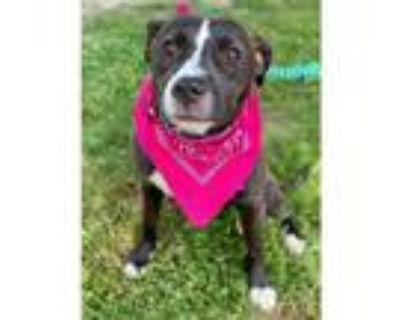 Adopt SHYSHY a Black American Pit Bull Terrier / Mixed dog in Olivette