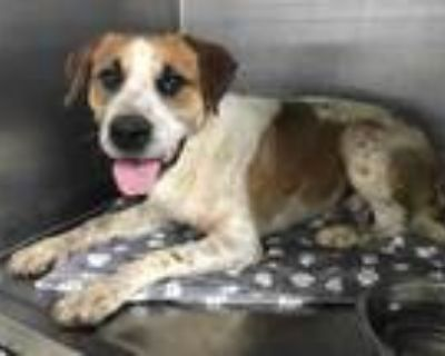 Adopt Bailey a White Retriever (Unknown Type) / Mixed dog in Fort Worth