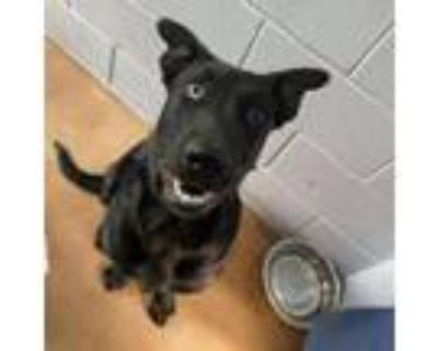 Adopt HOOVER a Black Labrador Retriever