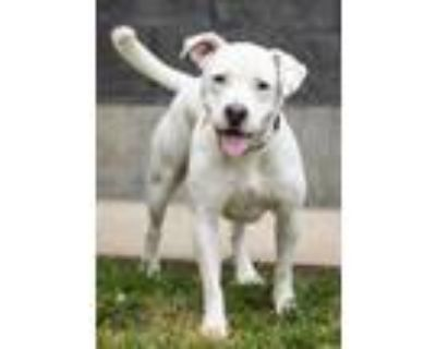 Adopt Wilbur (Main Campus) a White American Pit Bull Terrier / Mixed dog in