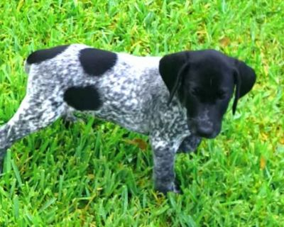 German Shorthaired Pointer Puppy for Sale - Rare Black