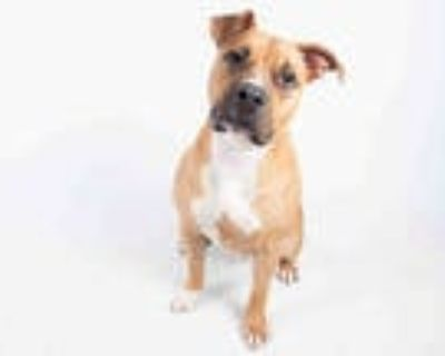 Adopt TANGO a Tan/Yellow/Fawn - with White American Pit Bull Terrier / Labrador