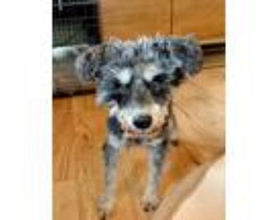 Adopt Roger a Gray/Blue/Silver/Salt & Pepper Schnauzer (Standard) dog in