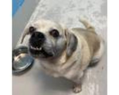 Adopt D-127 a White - with Tan, Yellow or Fawn Beagle / Pug / Mixed dog in
