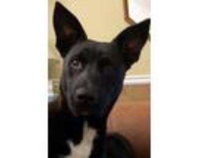 Adopt Little Guy a Black Husky / Mixed Breed (Medium) / Mixed dog in Alpharetta