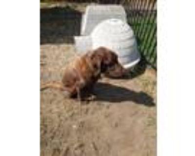 Adopt Rocky Road a Brown/Chocolate Labrador Retriever / Mixed dog in Camarillo