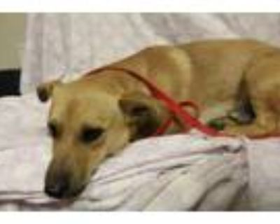 Adopt A552593 a Cardigan Welsh Corgi, Mixed Breed
