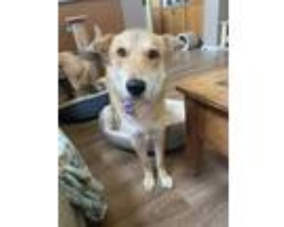 Adopt Baxter a Tan/Yellow/Fawn - with Black Shepherd (Unknown Type) dog in