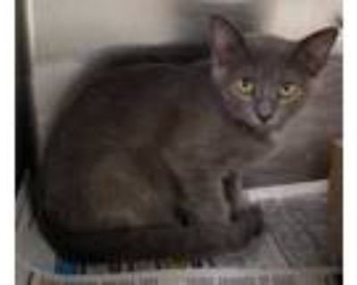 Adopt 47840883 a Gray or Blue Domestic Shorthair / Domestic Shorthair / Mixed