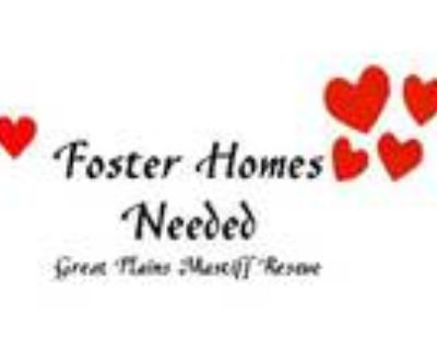 Adopt FOSTERS NEEDED a Mastiff