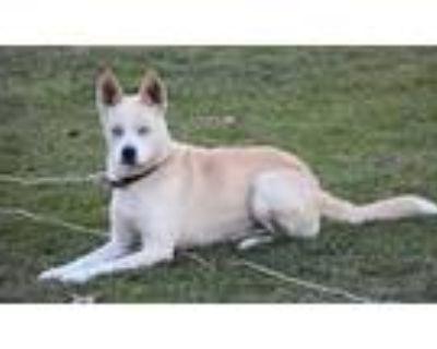 Adopt Kahlua a Tan/Yellow/Fawn - with White Husky dog in Lorton, VA (30358312)