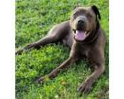 Adopt Brownie - Available May 12th a Brown/Chocolate Shar Pei / Labrador