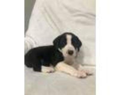 Adopt AUDI (ADOPTIN PENDING) (BLACK COLLAR) a Labrador Retriever / Redbone
