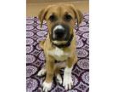 Adopt Heeler Ridgeback Puppies a Tan/Yellow/Fawn - with White Rhodesian