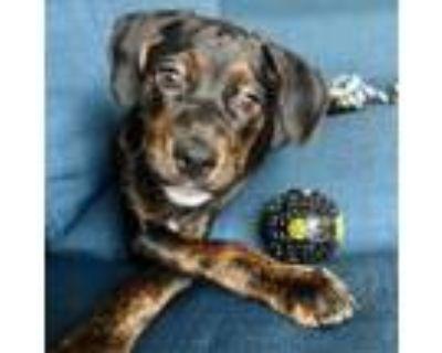 Adopt Chanelle a Plott Hound