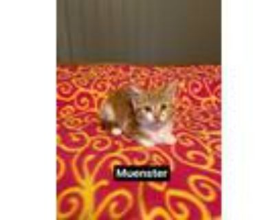 Adopt Muenster a Orange or Red (Mostly) Domestic Shorthair / Mixed cat in