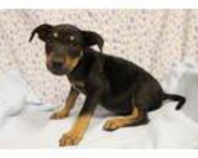 Adopt A554092 a Doberman Pinscher, Mixed Breed