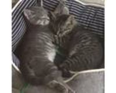Adopt Smurf and Smith a Domestic Shorthair / Mixed cat in Potomac, MD (31573990)