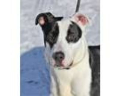 Adopt Mickey a Bull Terrier, Mixed Breed