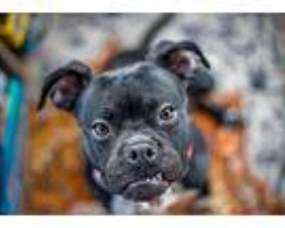 Pepper, American Pit Bull Terrier For Adoption In Wheaton, Illinois