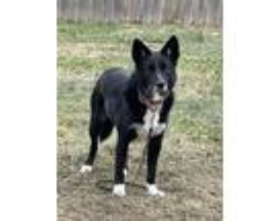 Adopt Todd (HR) a Black - with White Border Collie dog in Xenia, OH (32217632)