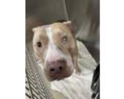Adopt Hunter a Tan/Yellow/Fawn American Pit Bull Terrier / Mixed dog in Fort