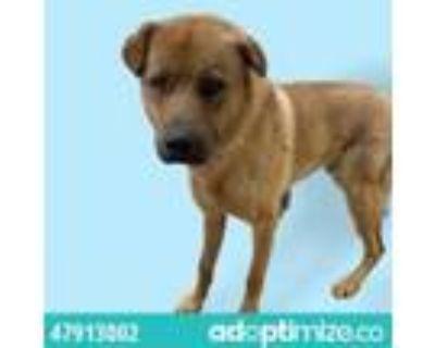 Adopt 47913002 a Tan/Yellow/Fawn Labrador Retriever / Mixed dog in El Paso