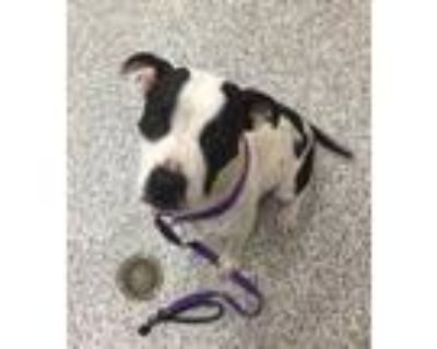 Adopt Java a Pit Bull Terrier / Mixed dog in Golden, CO (32046921)