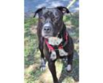 Adopt Domino a Black American Pit Bull Terrier / Mixed dog in Williamsburg
