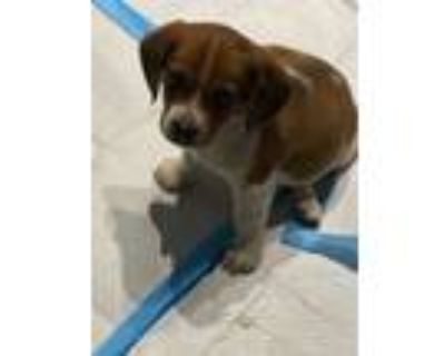 Adopt Hooch a White - with Brown or Chocolate Beagle / Mixed dog in Allentown