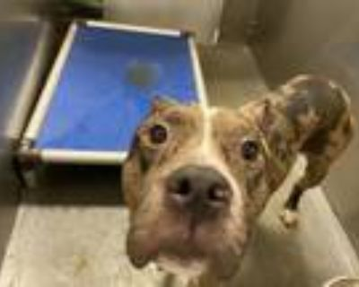 Adopt 1126036 a Catahoula Leopard Dog, Mixed Breed