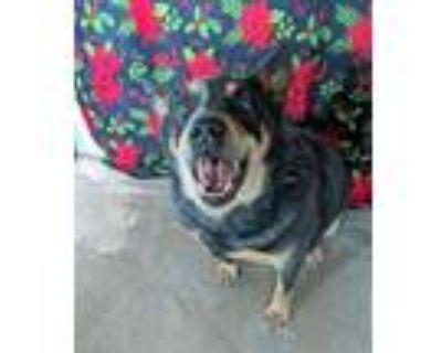 Adopt Kirk a Australian Cattle Dog / Blue Heeler