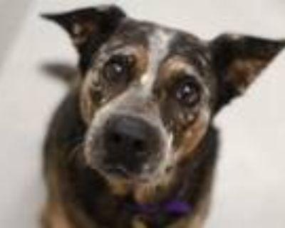 Adopt DUDE a Australian Cattle Dog / Blue Heeler