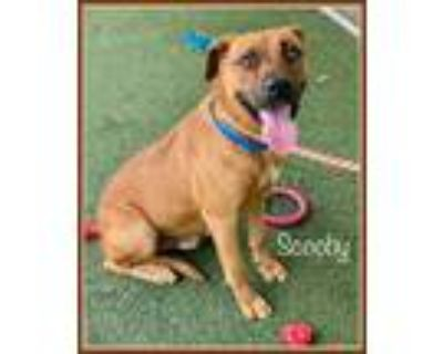 Adopt SNOOPY a Tan/Yellow/Fawn - with White German Shepherd Dog / Mixed dog in
