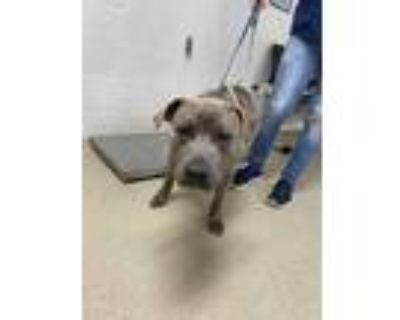 Adopt Taurus a Brindle American Pit Bull Terrier / Mixed dog in Fort Worth