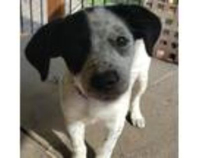 Adopt Phoebe a White - with Black Dachshund / Terrier (Unknown Type